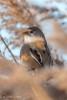 Bearded Reedling (Linda Martin Photography) Tags: dorset rspb beardedreedling wildlife nature canoneos5dmarkiv birds beardedtit panurusbiarmicus weymouth uk radipolelake coth naturethroughthelens specanimal ngc npc