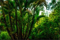 How Green was my Maui (Patricia Colleen) Tags: kulabotanicalgardens maui hawaii kula ilovepalmtrees palm greengreengreen lushlushlush itwasheavenly