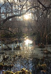 #Sunset #swamp #wetlands #marsh #sticks #bushes #branches #ground #reflecting #light #leaves #ice #cold #covered #winter #nature #woods #forest #fall #trees #Mike #Liebler #Connecticut #Vernon #CT (mikeliebler222) Tags: northeast newengland america amazing awesome great golden brilliant swamps bush sungoingdown sundown evening dusk sunset swamp wetlands marsh sticks bushes branches ground reflecting light leaves ice cold covered winter nature woods forest fall trees mike liebler connecticut vernon ct