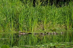 Weekend on the pond (Lena and Igor) Tags: travel nature water pond lake reflection birds ducks family green grass tall dslr nikon d5300 nikkor 18300 scenic landscape waterscape