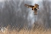 Northern Harriers of Mercer - 8 (RGL_Photography) Tags: bif birds birdsinflight birdsofprey circuscyaneus henharrier marshhawk mercercounty mothernature nikonafs600mmf4gedvr nikond500 northernharrier raptors wildlife wildlifephotography lawrencetownship newjersey unitedstates us