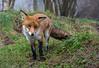 Basil looking cute. (Chris Sweet 85) Tags: fox redfox bwc nature nikon nikond7100