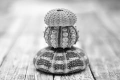 Seashell Tower (kkirby864) Tags: shells stack seaurchin bw blackandwhite outdoors stilllife