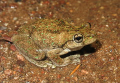Peron's Laughing Tree Frog (Litoria peroni) (Heleioporus) Tags: perons laughing tree frog litoria peroni near texas queensland
