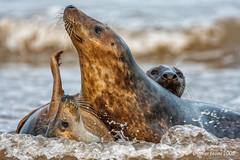 Grey seals (Javier Vecino) Tags: donnanook