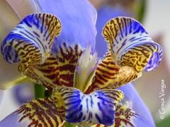 iris (✿ Graça Vargas ✿) Tags: neomaricacaerulea lírioroxodaspedras pseudoíris iridaceae graçavargas ©2017graçavargasallrightsreserved flower 27409270517