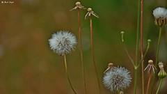 Dmuchawce (dreptacz) Tags: kwiat natura makro chorwacja zatoka plaża mlecz wyspa zielony biały sony lustrzanka slt