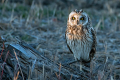 Short eared owl in the wild.Please look at my other shots and videos of these beautiful owls! (Mel Diotte) Tags: short eared owl wild