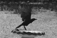The Raven (Whispers Innovations) Tags: commonraven corvuscorax blackbird largebirds brids animals raven blackbeak oo