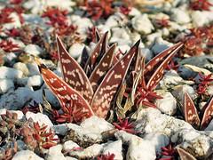 aloe variegata - calitzidorp cemetery, south africa 2 (Russell Scott Images) Tags: gonialoe variegata aloevariegata tigeraloe partridgebreastedaloe southafrica asphodeloideae xanthorrhoeaceae russellscottimages
