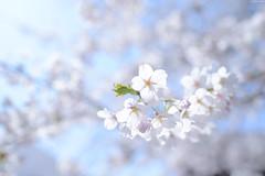 Cherry Blossom in Saisho-In TempleHirosaki City (Iyhon Chiu) Tags: flower japan temple japanese spring sunny aomori d750  cherryblossom  sakura hirosaki          2015  saishoin