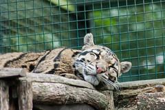 20150724_38 - schlfrig (grasso.gino) Tags: sleeping nature animals cat zoo tiere nikon natur leopard katze schlafen dortmund cloudedleopard nebelparder d3000