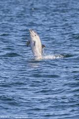 5V7A5931 (K_D_B 2 Million views. Thanks) Tags: sea water canon three dolphin kdb commondolphin 7dmkii tamronsp150600mmf563divcusda011