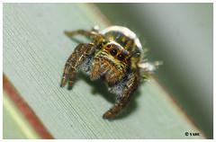 Spider (Yadu Aralam) Tags: beautiful beauty spider eyes small jumpingspider calicut 8legs yadu kozhikkod peruvannamoozhi  kuttyadi  yaduaralam