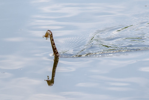 Northern Water Snake with Catfish or Tiny Loch Ness Monster?