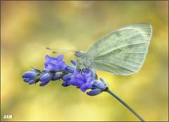 Luz y color (- JAM -) Tags: naturaleza flower macro nature insect nikon flor explore jam mariposas d800 insecto macrofotografia explored lepidopteros juanadradas