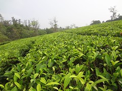 Tea Plants Valley (Anulal's Photos) Tags: tea camellia teaplantation camelliasinensis chay tealeaves teatree tealeaf teaplant theaceae teavalley teashrub teavally vagamontea vagamonteaplantation teaplantationvagamon teafoliage teaplantationvalley vagamonvally vagamonteavalley