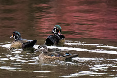 oakland.woodducks2 (donna lynn) Tags: nyc newyorkcity autumn fall nature birds nikon october wildlife birding ducks queens d750 bayside nys woodduck 2015 aixsponsa familyanatidae orderanseriformes