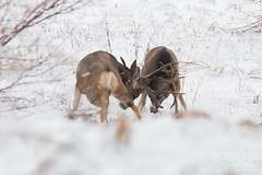 Mule Deer bucks battle