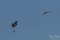 Bald Eagles Battle in the Air - 2 of 12