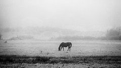 A Horse and Brume (John Westrock) Tags: blackandwhite horse farm rural landscape fog foggy mist pacificnorthwest canoneos5dmarkiii canonef100400mmf4556lisusm johnwestrock monochrome washington