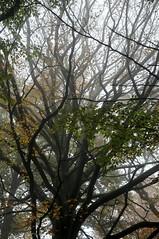 Nebliger Herbst in Brunsholm - explodierende Buchenkrone; Bergenhusen, Stapelholm (45) (Chironius) Tags: stapelholm bergenhusen schleswigholstein deutschland germany allemagne alemania germania германия niemcy rosids fabids buchenartige fagales buchengewächse fagaceae fagoideae buchen baum bäume tree trees arbre дерево árbol arbres деревья árboles albero rotbuche faia kayın beuken бук bok árvore ağaç boom träd fagussylvatica herbst herfst autumn autunno efteråret otoño höst jesień осень