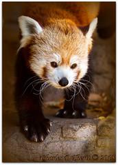 Ailurus fulgens / Red Panda (ctofcsco) Tags: 1640 1d 1div 20 200mm ailurusfulgens bearcats black canon colorado coloradosprings ef200mm ef200mmf2lisusm eos1dmarkiv eos1d explore f2 firefox lesserpanda mark4 markiv orange prime red redpanda supertelephoto telephoto unitedstates usa white 2015 animal bokeh denver denverzoo explored geo:lat=3975024770 geo:lon=10494968870 geotagged nature northamerica statecapitol vinestreethouses wildlife wwwdenverzooorg zoo best wonderful perfect fabulous great photo pic picture image photograph