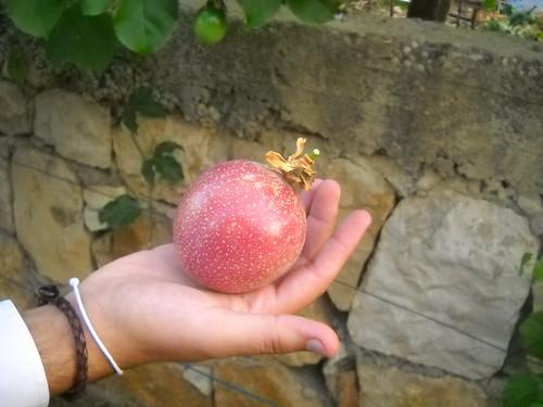 Passion Fruit V Large size Oct 12, 2015
