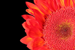 Not yellow but red sunflower (On Explore 12/10/2015) (die Augen) Tags: red sun plant flower macro yellow canon moulin rouge rojo sunflower prado girasol sl1