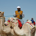 doha camel race (27)
