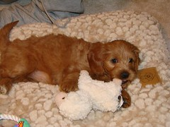 jada-on-her-cool-new-bed--shes-one-of-ginger-and-chewys-puppies-_2375192050_o
