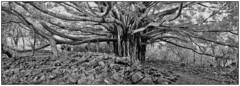Amazing (Fogle Images) Tags: landscape banyantree pipiwaitrail panorama bw haleakalanationalpark southshore tropics jungle maui hawaii