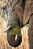 Healthy Eating (Jeff Clow) Tags: wild wildlife elephant nature wildelephant southafrica eating healthy healthyeating lunch dinner greens travel beautyinnature