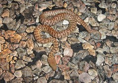 Hatchling Stimson's Python (Antaresia stimsoni) (shaneblackfnq) Tags: stimsons python antaresia stimsoni shaneblack snake reptile barkly tableland nt northern territory australia outback arid hatchling baby juvenile