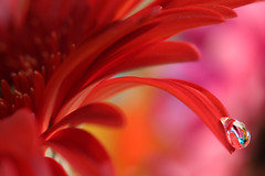 Explosion of color (Marilena Fattore) Tags: macro artistic canon650d tamron 90mm colors water drops nature closeup focus petals floralart reflection bokeh droplet red background pastel flower garden gerbera