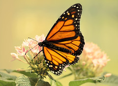 monarch (Sky_PA (On and Off)) Tags: monarch butterfly spring beautiful colors colorful insect amateurphotography flowers milkweed nature outdoor canoneos rebelt6i t6i efs55250mmf456isstm