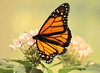 monarch (*Millie* (Catching up slowly)) Tags: monarch butterfly spring beautiful colors colorful insect amateurphotography flowers milkweed nature outdoor canoneos rebelt6i t6i efs55250mmf456isstm