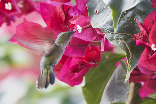 Antillean Crested Hummingbird (Female)