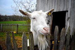 curious goat (jessie_with_the_camera) Tags: goat curious animals animalsinnature nature curiousgoat nikon