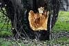 2 - Blessure (melina1965) Tags: janvier january 2017 îledefrance valdemarne créteil nikon coolpix s3700 arbres arbre tree trees écorce bark hiver winter