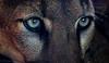 I See You (danielledufour430) Tags: cat bigcat sonya6000 feline mountainlion cougar panther puma mammal carnivore predator eyes closeup