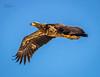 Juvenile Bald Eagle 3 (jas777jad) Tags: eagles juvenile bald eagle bird waveland coastal