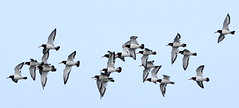 Flock of Oystercatchers. (pstone646) Tags: birds nature animals flight flying kent oystercatchers fauna wings sky
