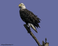 2I1A5464-2a (lfalterbauer) Tags: canon7dmarkii baldeagle naturephotographer dsl dslr avian raptor seaeagle prey perch buckscounty wildlife birdwatcher ngc