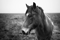 Marsh Horse (macal1961) Tags: horse marsh llanrhidian gower wales nature wild hardy mono monochrome blackandwhite leica leicam summicron