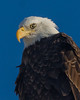 American Bald Eagle (corkemup52) Tags: americanbaldeagle birds beatrice baldeagle eagles eagle nebraska nature nikond7000 nationaleaglecenter sigma120400mm wildlife outdoors