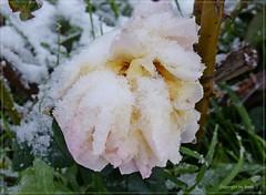 Meine Schnee-Rose * My snow rose * Mí rosa de nieve *     . P1330818-001 (maya.walti HK) Tags: 2017 210117 copyrightbymayawaltihk españa españasur flickr murciaprovinz nieve panasoniclumixfz200 pflanzen plantas plants provinciademurcia provinzmurcia rosa rose südspanien schnee snow southernspain spain spanien