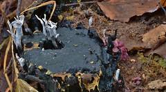 Vlnr: Geweizwam + Zwarte houtknotszwam + Paarse knoopzwam (henkmulder887) Tags: geweizwam stronk xylariahypoxylon korstmos paddestoel zwam zwammetje herfst herbst mushroom inexplore paarseknoopzwam zwartehoutknotszwam xylariapolymorpha ascocorynesarcoides 99