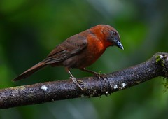 Red-throated Ant-Tanager (anacm.silva) Tags: redthroatedanttanager ave bird wild wildlife nature natureza naturaleza birds aves costarica sarapiqui selvaverdelodge centralamerica rainforest habiafuscicauda