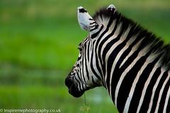Burchell's Zebra - Okavango (Donna Hampshire) Tags: burchellszebra zebra donnarobinson donnahampshire inspiremephotographycouk canon7dii botswana okavango wildlifeoftheokavango equisquaggaburchellii